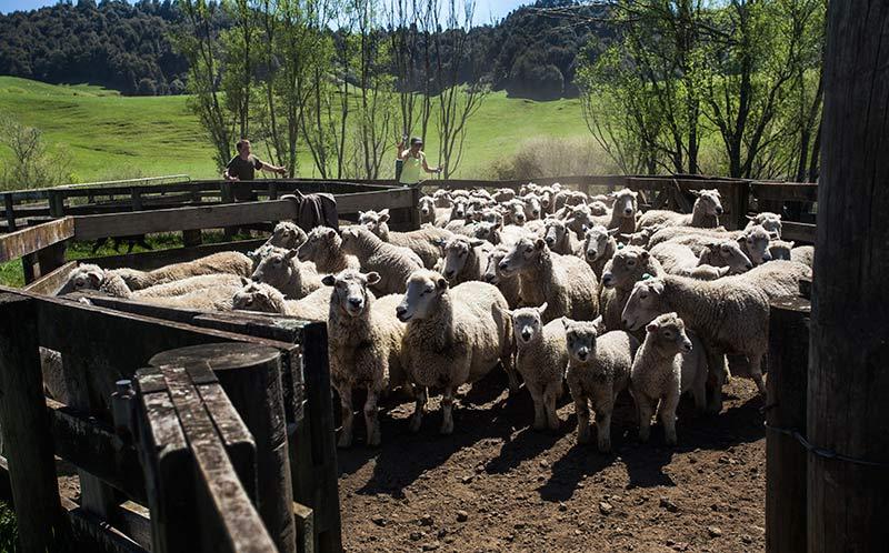LambsSheep